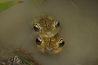 Rosenberg's Gladiator Treefrog (Hypsiboas rosenbergi) adult