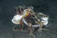 Veined Octopus (Amphioctopus marginatus) adult, holding shel 32259005650| 写真素材・ストックフォト・画像・イラスト素材|アマナイメージズ