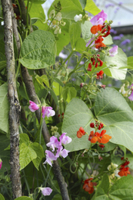 Runner Bean (Phaseolus coccineus) flowering, growing on haze