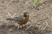 American Robin  with worm in its bill - Utah, USA