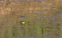 American Bullfrog male in pond - Utah