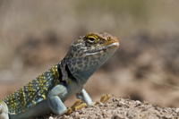Yellow headed collared Lizard from Utah USA - Crotaphytus co
