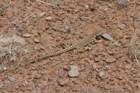Longnose Leopard Lizard - Utah America