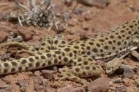Longnose Leopard Lizard showing rear legs- Utah America 32259006575| 写真素材・ストックフォト・画像・イラスト素材|アマナイメージズ
