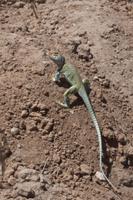 Collared Lizard male -Utah America