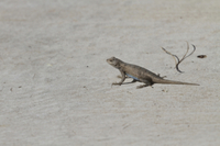 Western Fence Lizard - Male, Utah America 32259006640  写真素材・ストックフォト・画像・イラスト素材 アマナイメージズ