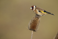 European Goldfinch (Carduelis carduelis) adult, feeding on s