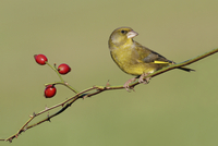European Greenfinch (Carduelis chloris) adult male, perched