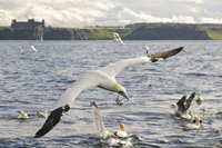 Northern Gannet (Morus bassanus) adult, in flight, early sta
