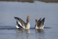 Greylag Goose (Anser anser) adult pair, displaying on water,