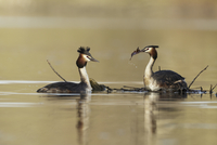 Great Crested Grebe (Podiceps cristatus) adult pair, buildin