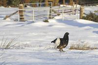Black Grouse (Tetrao tetrix) adult male, standing on snow at 32259007185  写真素材・ストックフォト・画像・イラスト素材 アマナイメージズ