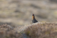 Red Grouse (Lagopus lagopus scoticus) adult male, standing i
