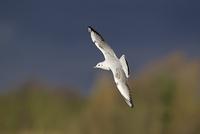 Black-headed Gull (Larus ridibundus) immature, first winter  32259007233| 写真素材・ストックフォト・画像・イラスト素材|アマナイメージズ