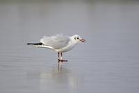 Black-headed Gull (Larus ridibundus) adult, winter plumage,  32259007235| 写真素材・ストックフォト・画像・イラスト素材|アマナイメージズ