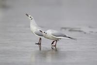 Black-headed Gull (Larus ridibundus) two adults, winter plum 32259007239| 写真素材・ストックフォト・画像・イラスト素材|アマナイメージズ