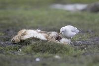 Black-headed Gull (Larus ridibundus) immature, first winter  32259007240| 写真素材・ストックフォト・画像・イラスト素材|アマナイメージズ