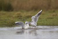 Black-headed Gull (Larus ridibundus) two adults, winter plum 32259007251| 写真素材・ストックフォト・画像・イラスト素材|アマナイメージズ
