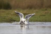 Black-headed Gull (Larus ridibundus) two adults, winter plum 32259007252| 写真素材・ストックフォト・画像・イラスト素材|アマナイメージズ