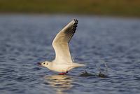 Black-headed Gull (Larus ridibundus) adult, winter plumage,  32259007257| 写真素材・ストックフォト・画像・イラスト素材|アマナイメージズ