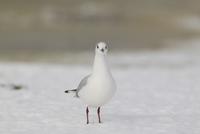Black-headed Gull (Larus ridibundus) adult, winter plumage,  32259007259| 写真素材・ストックフォト・画像・イラスト素材|アマナイメージズ
