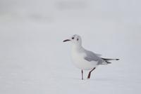 Black-headed Gull (Larus ridibundus) adult, winter plumage,  32259007261| 写真素材・ストックフォト・画像・イラスト素材|アマナイメージズ
