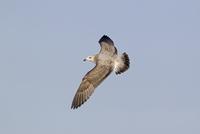 Herring Gull (Larus argentatus) immature, second winter plum