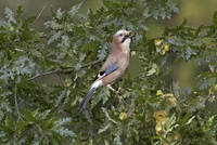 Eurasian Jay (Garrulus glandarius) adult, collecting acorns