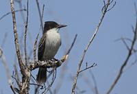 Loggerhead Kingbird (Tyrannus caudifasciatus caudifasciatus) 32259007375  写真素材・ストックフォト・画像・イラスト素材 アマナイメージズ