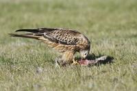 Red Kite (Milvus milvus) immature, feeding on European Rabbi 32259007391  写真素材・ストックフォト・画像・イラスト素材 アマナイメージズ