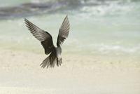 Black Noddy (Anous minutus) adult, in flight, landing on bea 32259007418| 写真素材・ストックフォト・画像・イラスト素材|アマナイメージズ