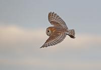 Barn Owl (Tyto alba) adult, in flight, in early morning ligh