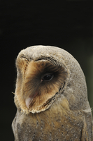 Barn Owl (Tyto alba) melanistic phase, adult, close-up of he