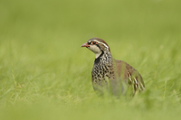Red-legged Partridge (Alectoris rufa) adult, standing in gra
