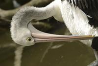 Australian Pelican (Pelecanus conspicillatus) adult, close-u