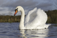 Mute Swan (Cygnus olor) adult, swimming with wings raised in
