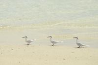 Black-naped Tern (Sterna sumatrana) three adults, standing o