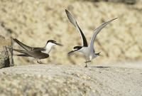 Bridled Tern (Onychoprion anaethetus) adult pair, in courtsh