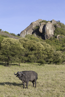 African Buffalo (Syncerus caffer) adult male, standing in sa