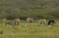 Common Eland (Taurotragus oryx) four adults, with associated 32259007908  写真素材・ストックフォト・画像・イラスト素材 アマナイメージズ