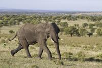 African Elephant (Loxodonta africana) adult, aggressive beha