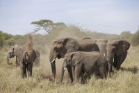African Elephant (Loxodonta africana) adult females and calv