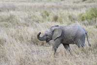 African Elephant (Loxodonta africana) calf, with trunk raise