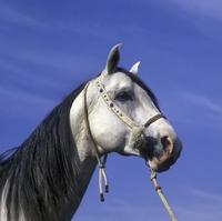 Horse - Arab Close-up of grey stallion's head / halter