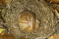 Hazel Dormouse (Muscardinus avellanarius) adult, hibernating
