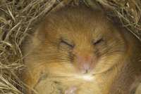 Hazel Dormouse (Muscardinus avellanarius) adult, close-up of