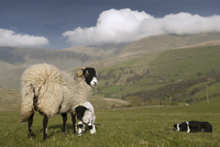 Domestic Sheep, Swaledale ewe and lamb, being watched by Bor 32259008036| 写真素材・ストックフォト・画像・イラスト素材|アマナイメージズ