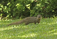 Small Asian Mongoose (Herpestes javanicus) introduced specie