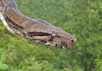 Boa Constrictor (Boa constrictor orphias) adult, close-up of 32259008098  写真素材・ストックフォト・画像・イラスト素材 アマナイメージズ
