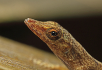 Saint Lucia Anole (Anolis luciae) brown form, adult, close-u 32259008101  写真素材・ストックフォト・画像・イラスト素材 アマナイメージズ